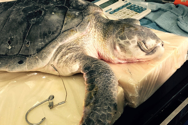 laddy-south-carolina-aquarium-sea-turtle-care-center