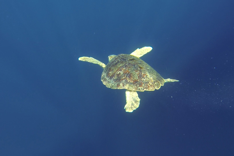 loggerhead-release-conservation-webpage-sea-turtle-care-center