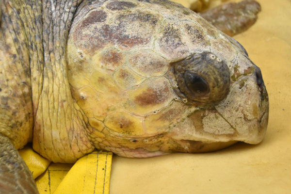 Sea Turtle Rescue Program Archives - Page 5 of 27 - South