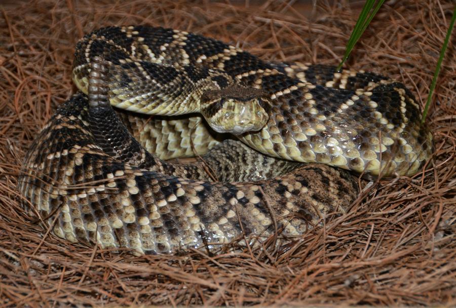 Diamondback Rattlesnake - South Carolina Aquarium